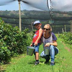 Action - Berry picking at The Field Berry Farm