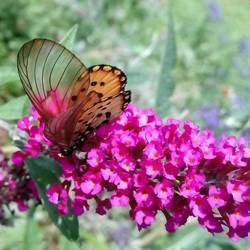 Gardening for Wildlife - Butterfly education for schools (educational shows), Butterfly talks for children and adults, Butterfly walks, Gardening for butterflies and birds