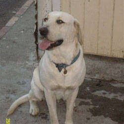 Labrador and Retriever Rescue  - Re-homing, adoption service for labrador and retriever dogs